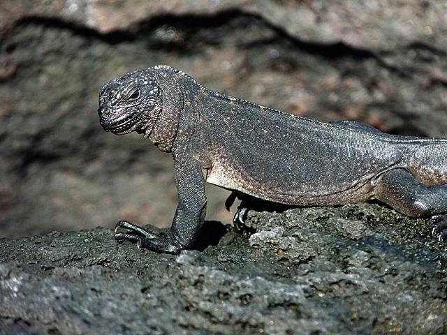 Young marine iguana