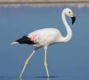 [Flamingo-Andino6]