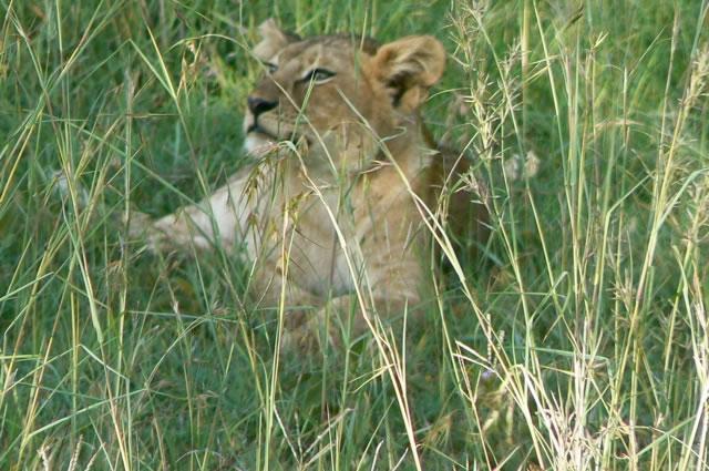 Serengeti National Park - lion