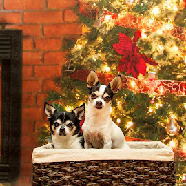 Chihuahua's Christmas Portrait by Debbie Quick - Animals - Dogs Portraits ( debbie quick, mans best friend, christmas tree, canine, pet photography, portrait, christmas, fireplace, debs creative images, new york, k9, pleasant valley, chihuahua, animal photography, animal, dog, hudson valley, pet )