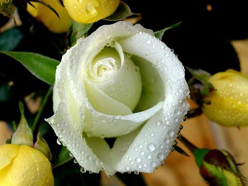 White_Rose_wallpapers.jpg