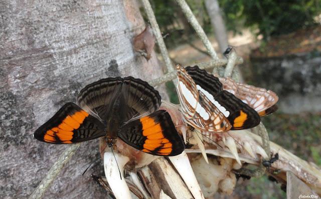 Adelpha mesentina (CRAMER, 1777) et Adelpha iphiclus (L., 1758).  À proximité du Rio Teles Pires, município de Nova Canaã do Norte (Mato Grosso, Brésil), 11 juin 2011. Photo : Cidinha Rissi