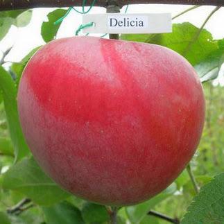 Делиция яблоня купить