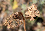 Katteostbredpande, Carcharodus alceae.3.jpg