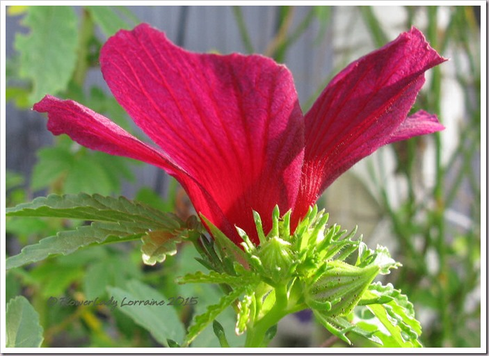 10-16-ruby-hibiscus3