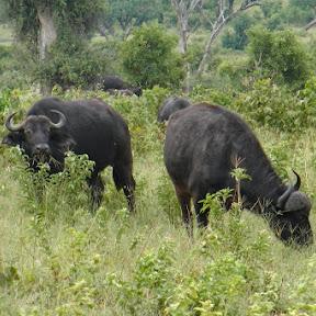 Buffels in Chobe NP