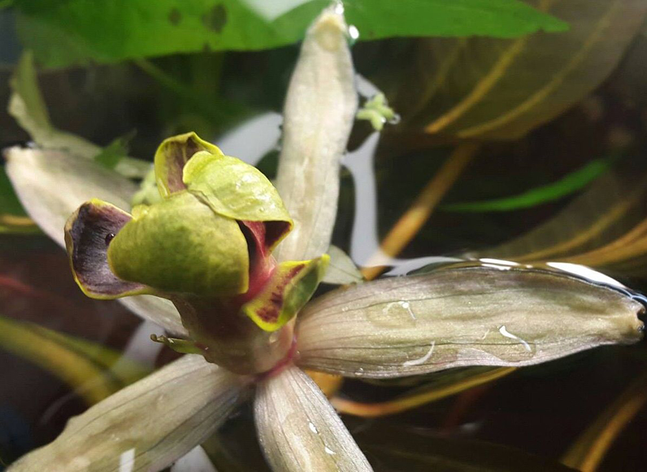 Барклайя длиннолистная (Barclaya longifolia)