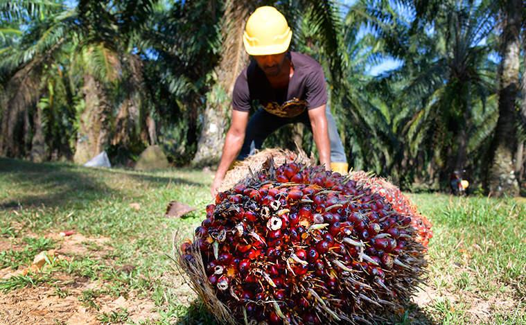 Peralatan dan Perlengkapan Pemanen Kelapa Sawit yang Perlu Anda Ketahui