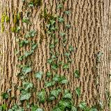 Плющ обыкновенный (Hedera helix)