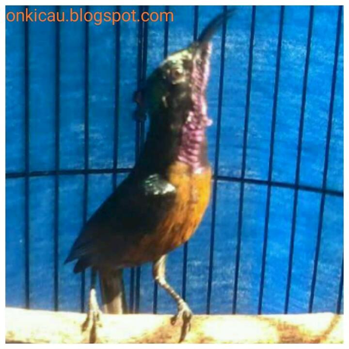 Settingan Harian Kolibri Ninja Konin Agar Gacor Dan Ngobra On Kicau