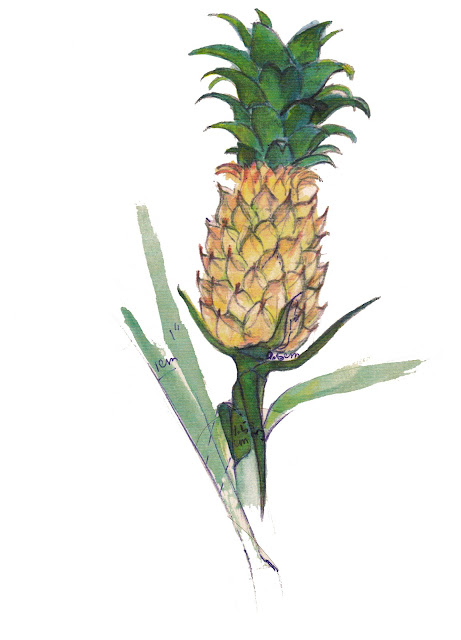 Water color of Pine apple