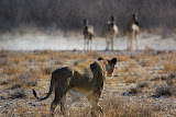 Lion hunting Zebra - Etosha, Namibia