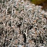 Кладония оленья (Cladonia rangiferina)