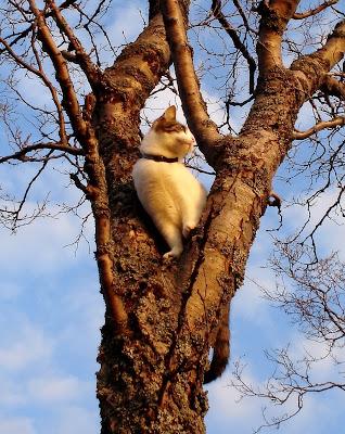 katt, träd, klättra, carulmare