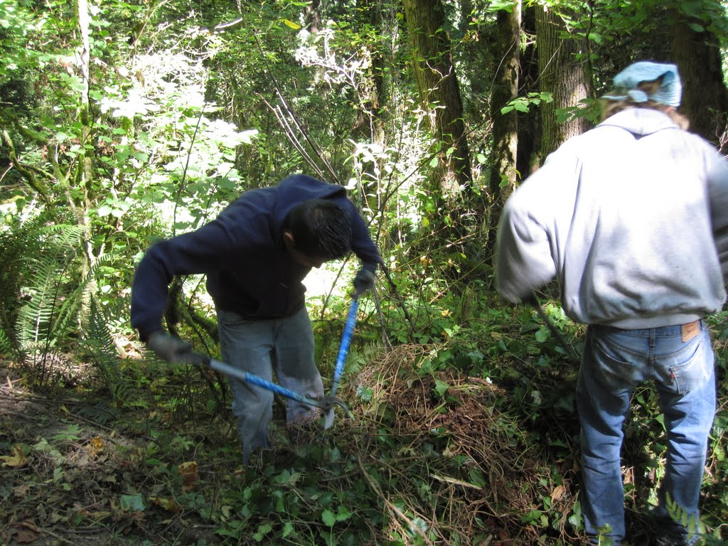 Tonchi's Mulching Method- An organized approach to hand mulching pulled ivy.