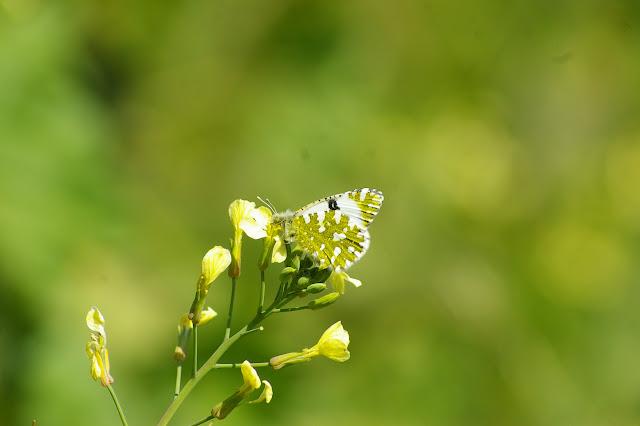 Anthocharis cardamines LINNAEUS, 1758, femelle. La Rose, Marseille (B.-du-Rhône), 22 avril 2009. Photo : J.-M. Gayman