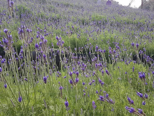 Lavender flower field at Lavender Village Taichung