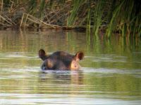 Hippo - Botswana - Okavango Delta