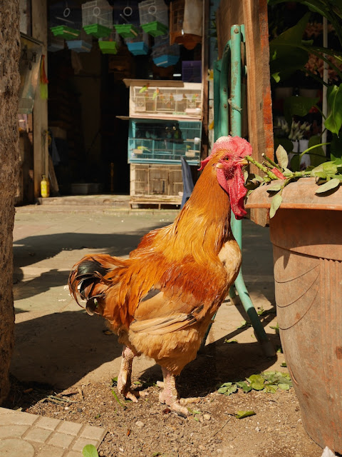 rooster eating greens along a sidewalk in Shaoguan, China