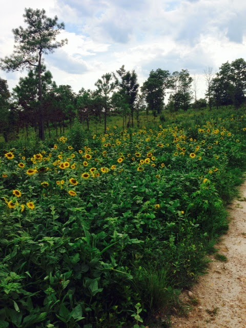 Sunflowers for dove hunting at Anderson Creek Hunting Preserve