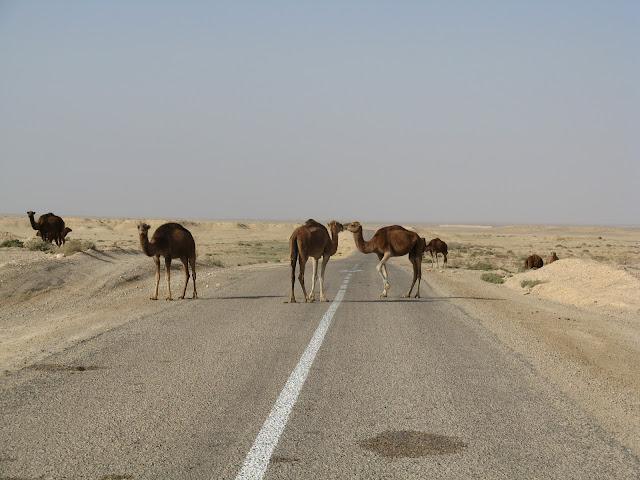 Roaming Camels