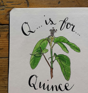 Quince :: www.AliceDrawsTheLine.co.uk