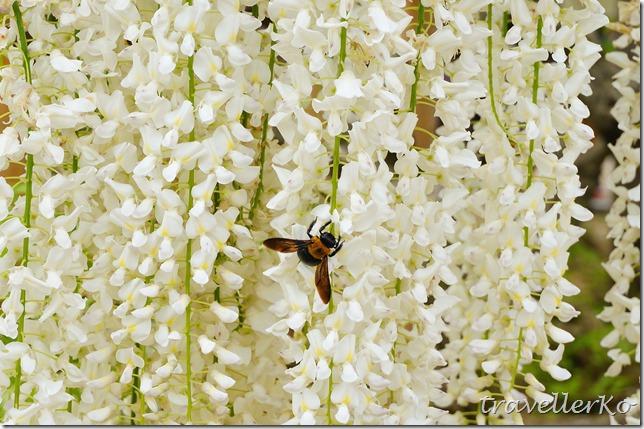 在最美的季節遇見足利紫籐花卉公園:門票交通攻略實況(下)05