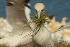 LE DRAGUEUR Ou alors il est très exigent dans la réalisation du nid !