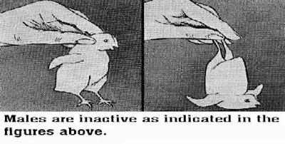 Chick-sexing (3).jpg