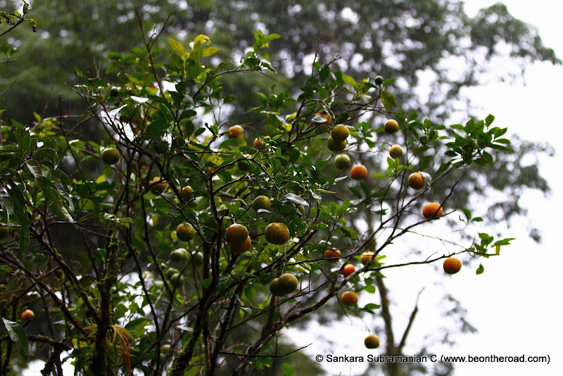 Tree bearing Citrus Fruits at Honey Valley in Coorg