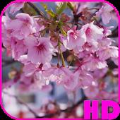 Cherry Blossom Video Wallpaper