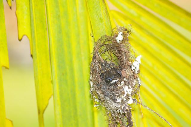 Piste de Coralie (Guyane) : nid de colibri dans l'ancien site d'orpaillage. 26 novembre 2011. Photo : J.-M. Gayman