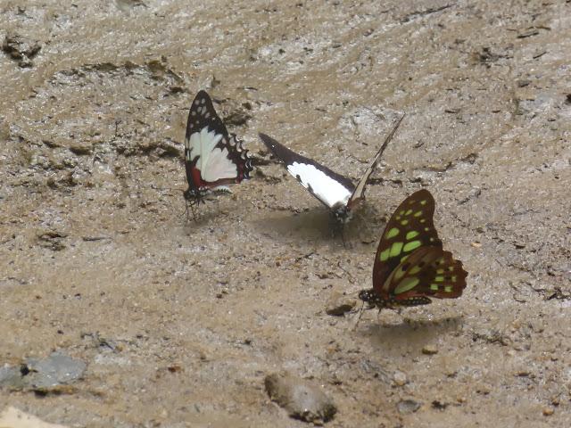 Graphium endochus (BOISDUVAL, 1836) et Graphium cyrnus (BOISDUVAL, 1836). Parc de Mantadia (Madagascar), 29 décembre 2013. Photo : J. Marquet