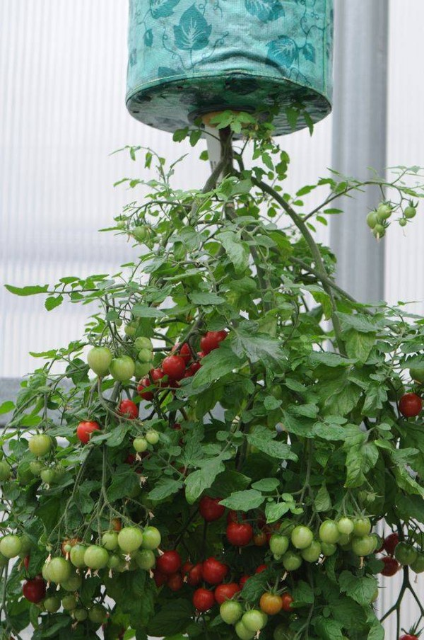 Độc đáo cách trồng cà chua lộn ngược sai trĩu trịt quả - 55dafb418ef33