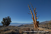Bristlecone Pines, White Mountains, California