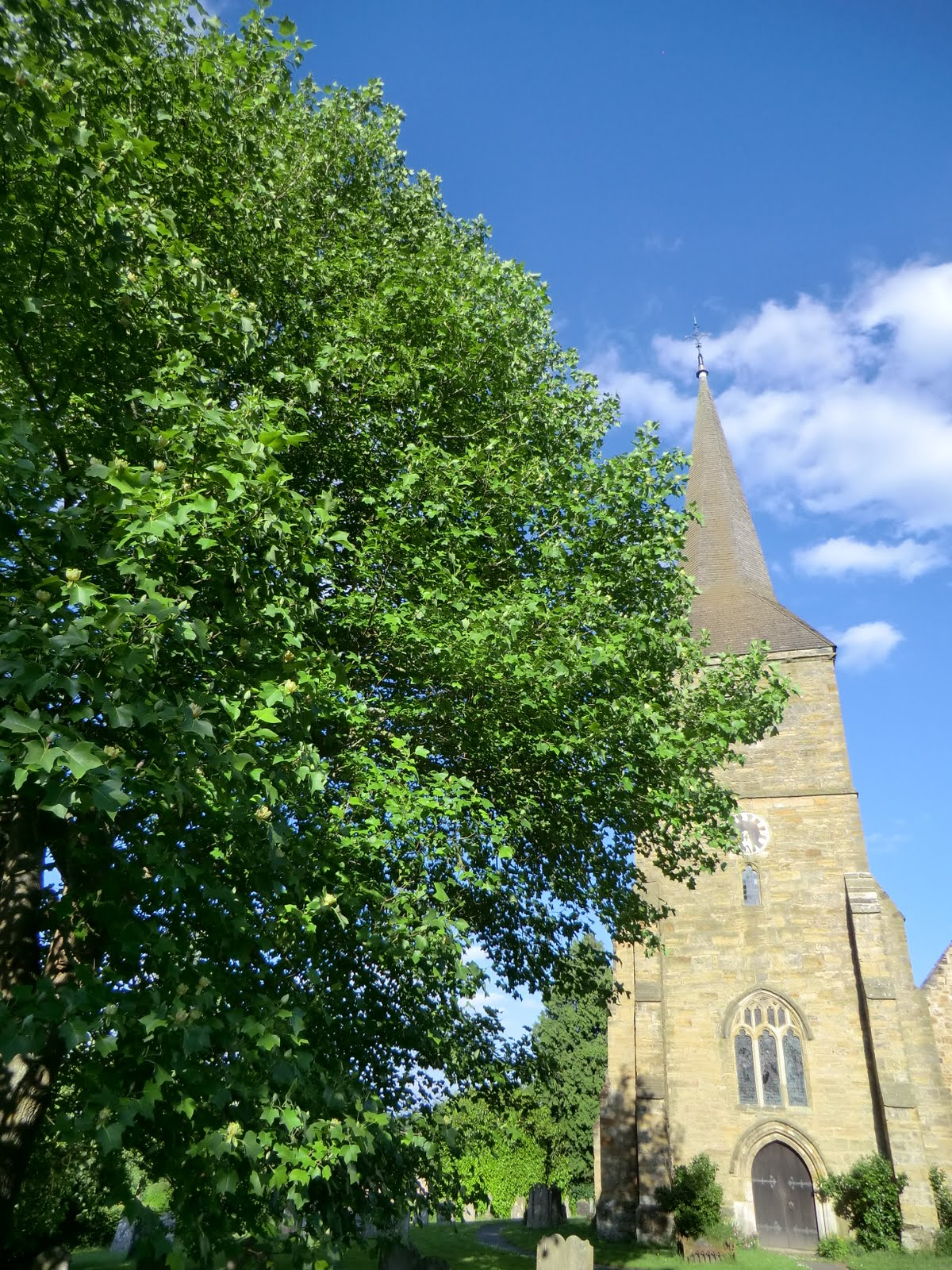 CIMG7332 Tulip tree and St Mary the Virgin, Hartfield