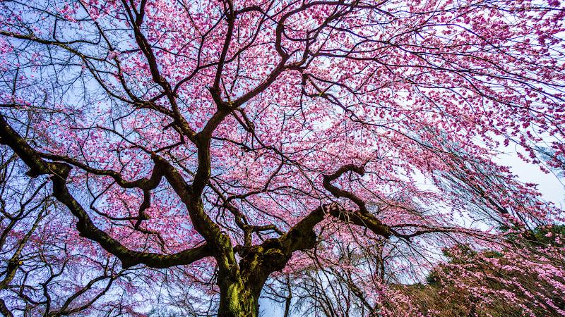 新宿御苑 シダレザクラ(枝垂桜)