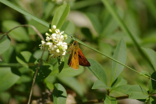 Ochlodes sylvanus (Esper, 1777). Les Hautes-Lisières (Rouvres, 28), 11 juin 2010. Photo : J.-M. Gayman