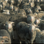 AB26 Crowded Sheep.jpg