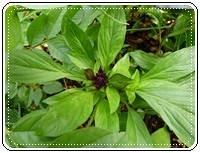 คำศัพท์ภาษาอังกฤษ_sweet basil_Vegetable