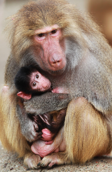 Photo: HAMBURG, GERMANY - APRIL 18: An unnamed baby baboon is seen in his mothers arms at the Hagenbeck Zoo on April 18, 2012 in Hamburg, Germany. Credit: Joern Pollex/Getty Images Date: April 18, 2012