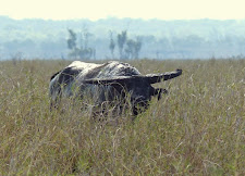 This is a very wide straight horned bull on the plains. This old buffalo exudes character!