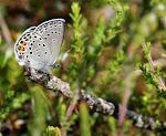 Bølleblåfugl, obtilete2.jpg