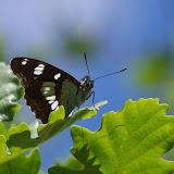 Limenitis reducta Staudinger, 1901. Les Hautes-Courennes, Saint-Martin-de-Castillon (Vaucluse), 15 juin 2015. Photo : J.-M. Gayman