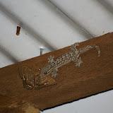 Gecko capturant (probablement) Letis doliaris (GUENÉE, 1852). Amazone Nature Lodge, Montagne de Kaw. 16 novembre 2011. Photo : J.-M. Gayman