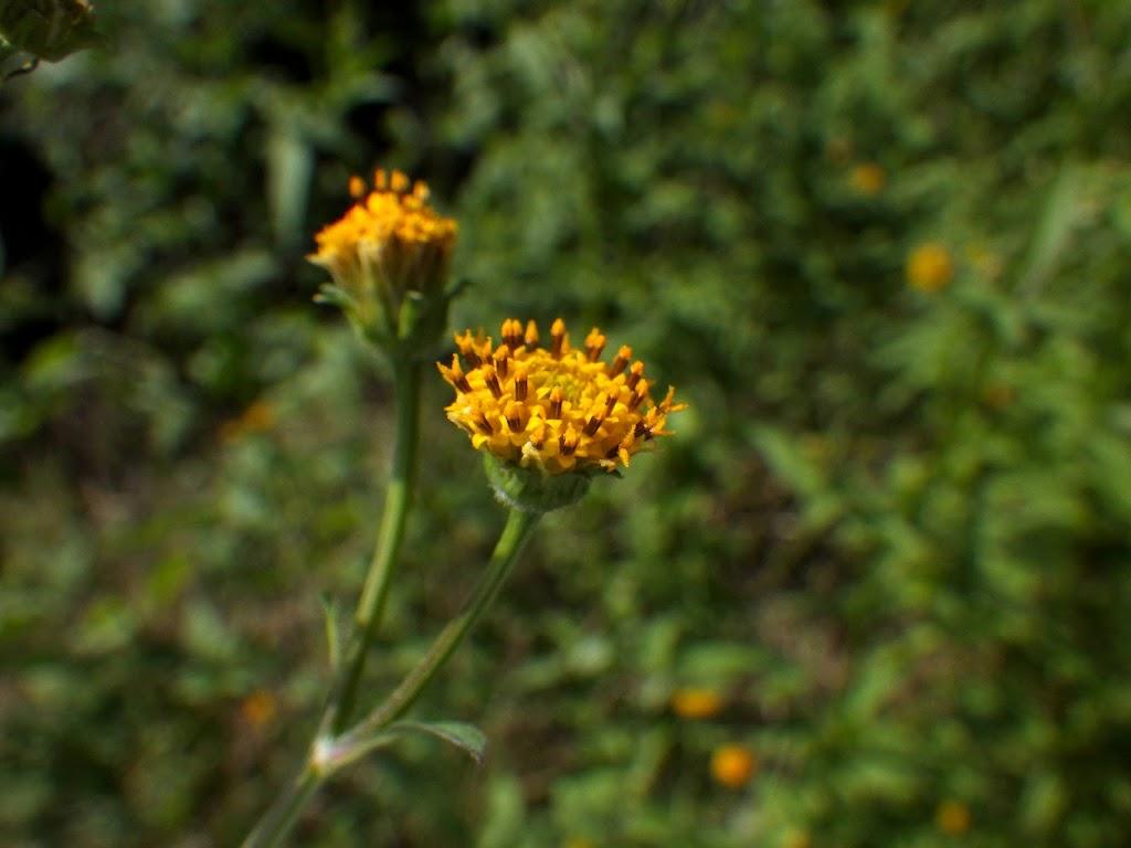 コセンダングサの花1