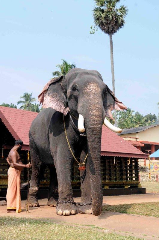 Kerala S Biggest And Grandest Elephant Gajarajan Kesavan Served The Lord People For About 54 Years