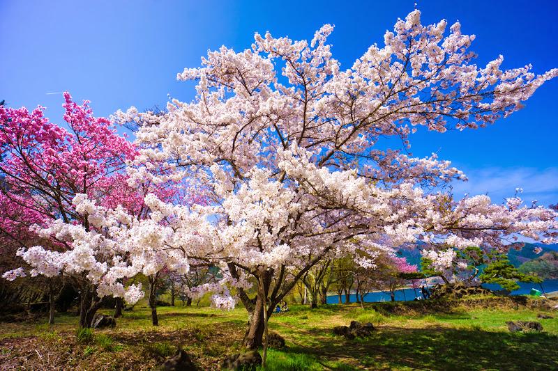 富士ビューホテル 桜 写真24