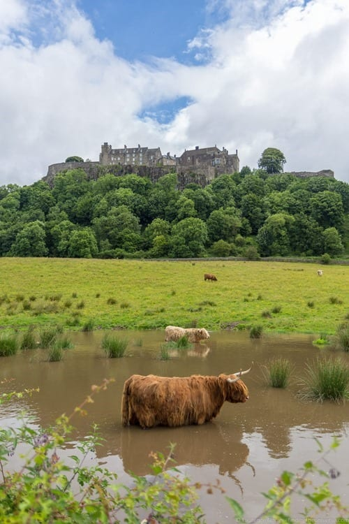 Stirling Castle and highland coos