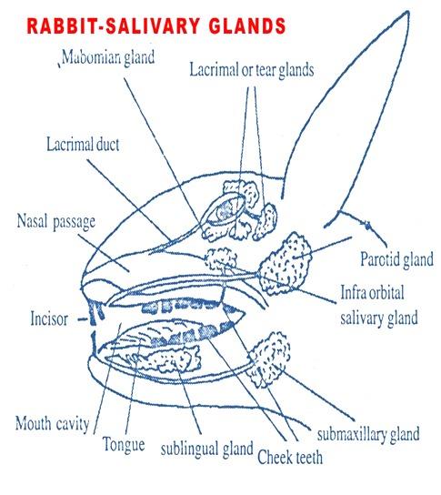 salivary-glands-rabbit